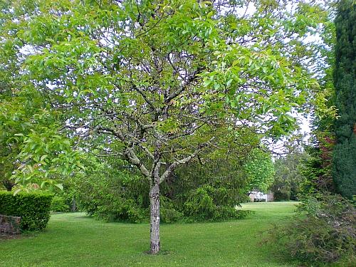 treesacrossfrontlawns